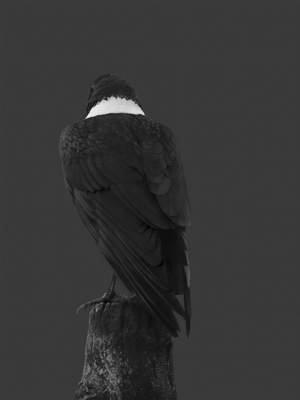 Tier_Mirjana Vrbaski_Crow