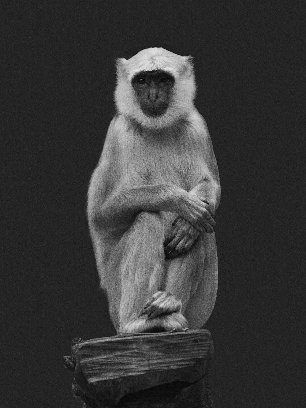 Tier_Mirjana Vrbaski_Monkey